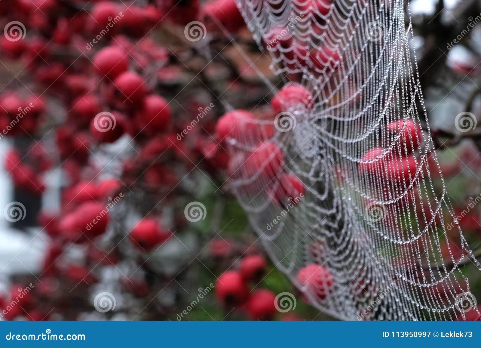 Zamyka w górę fotografii pająka ` s sieć z rosa kroplami wiesza od czerwonej krab jabłoni w jesieni