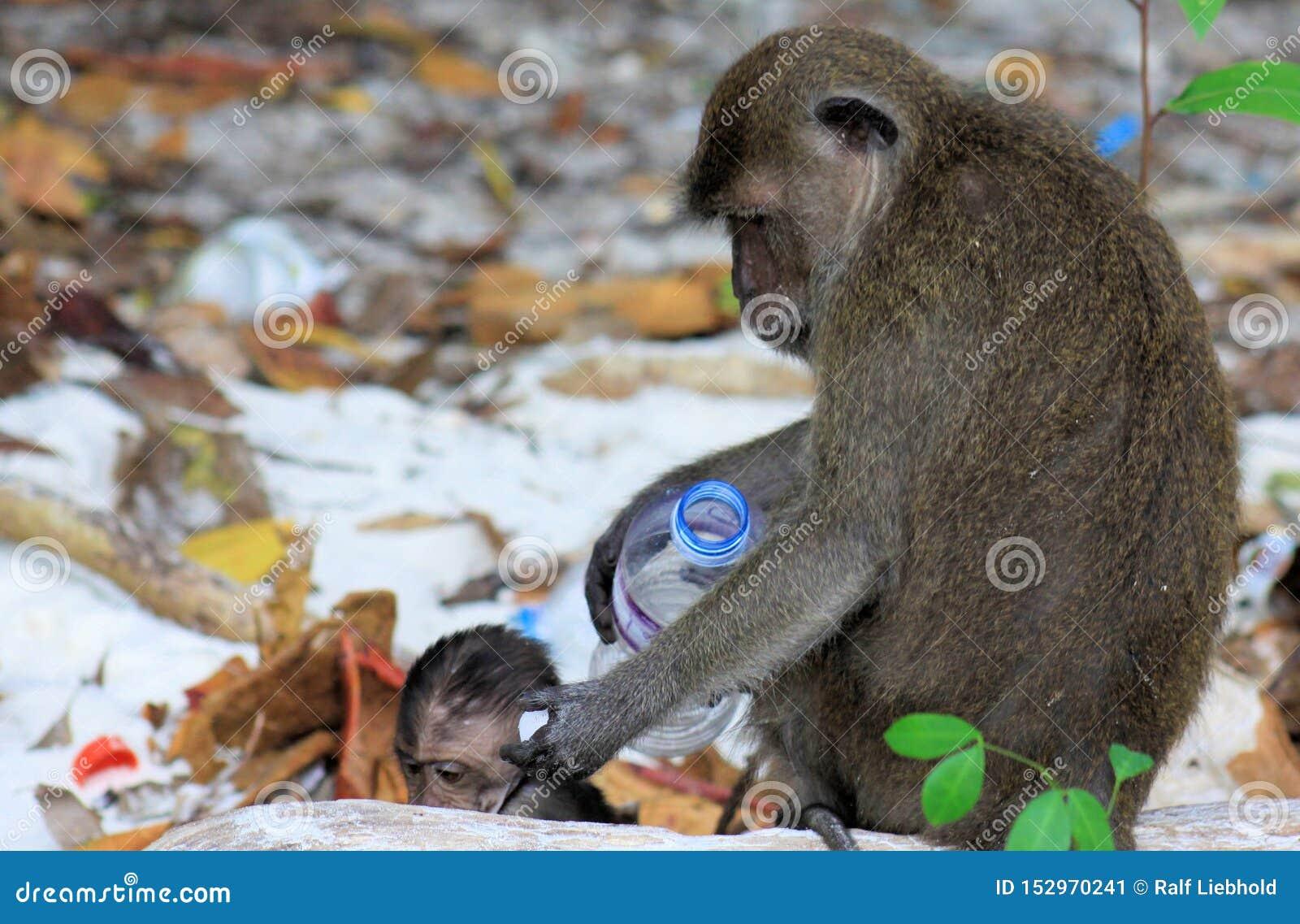 Zamyka w górę matki i dziecka małp łasowania długoogonkowego makaka, Macaca fascicularis na zanieczyszczającej plaży bawić się z