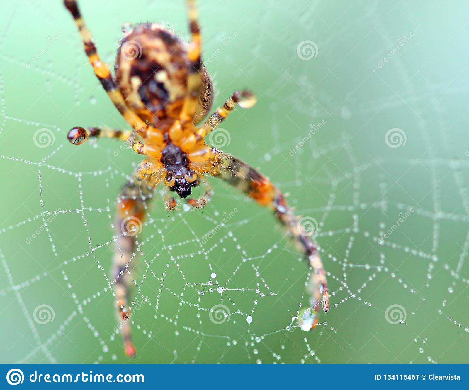 Zamyka w górę pająka w sieci pajęczaki
