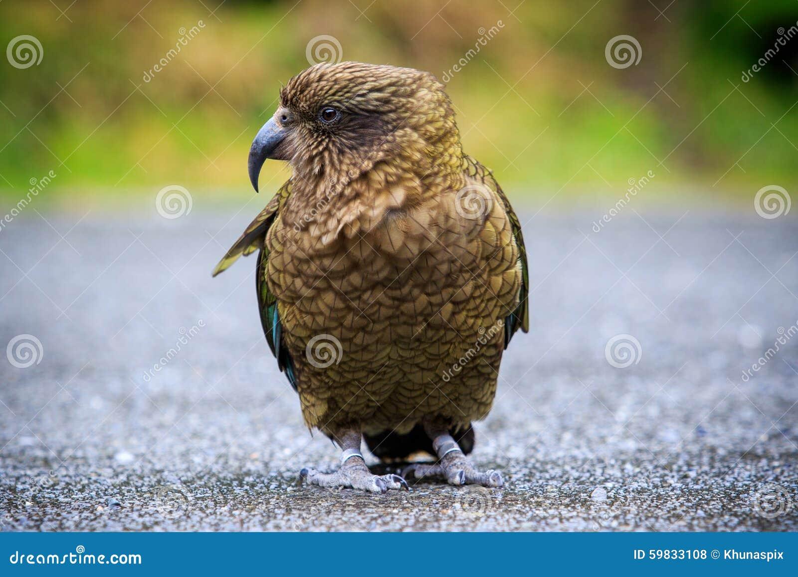 Zamyka w górę pięknego koloru piórka, upierzenie kea ptaki z plamą