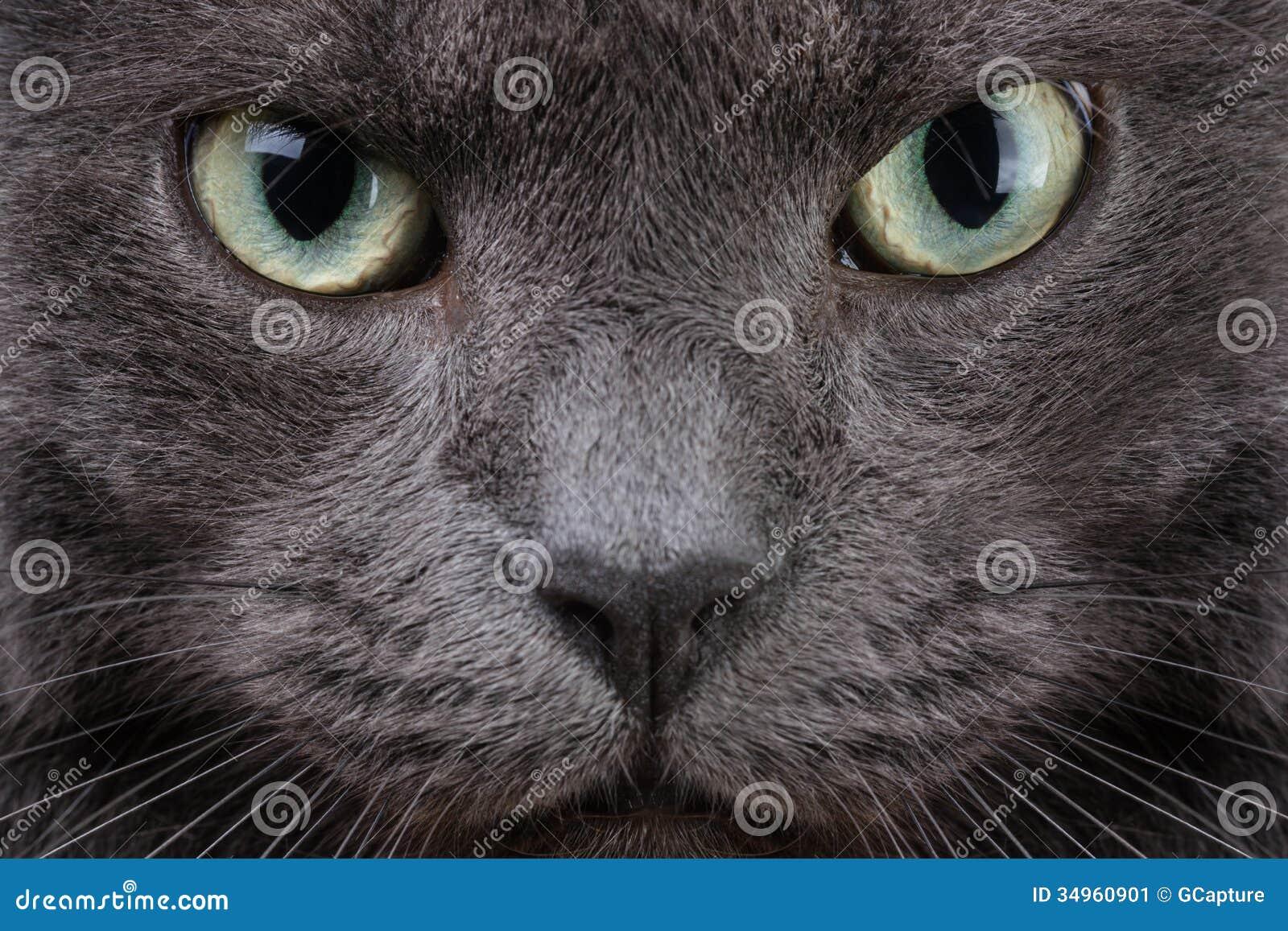 Zamyka w górę portreta brytyjski kot