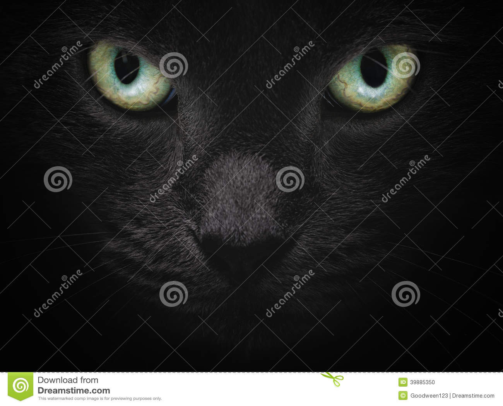 Zamyka w górę portreta poważny brytyjski shorhair kot