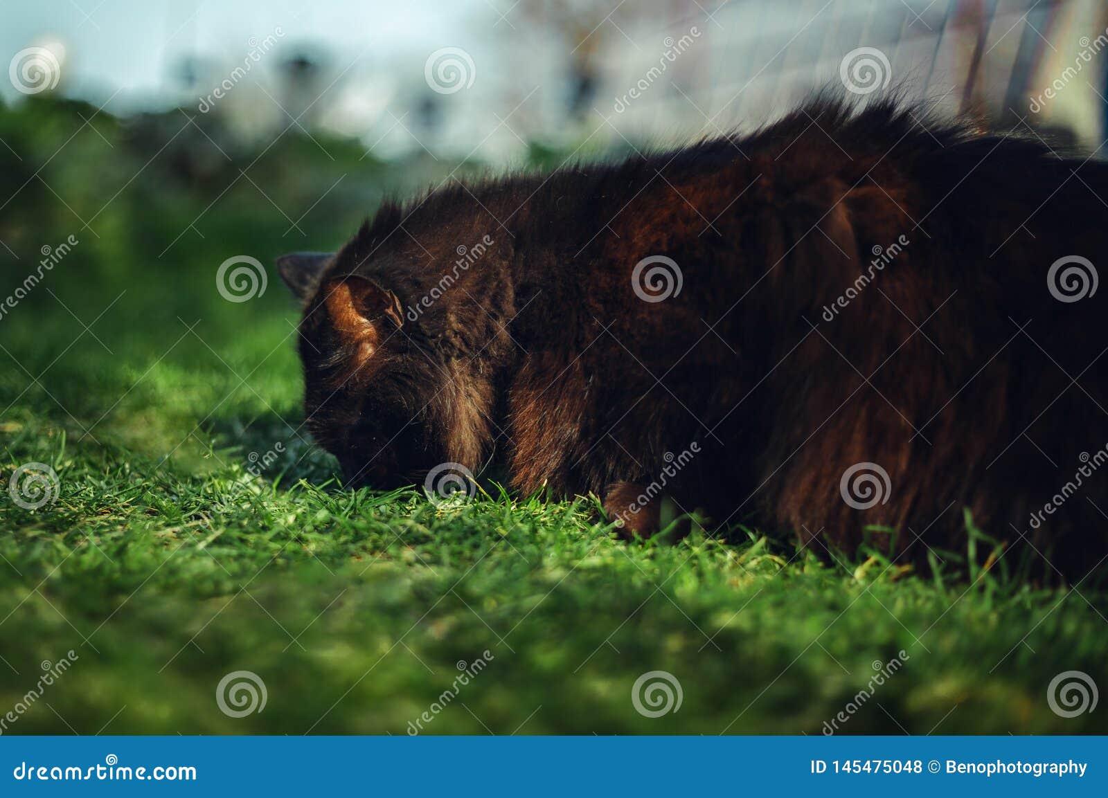 Zamyka w górę portreta tomcat Chantilly Tiffany kłaść i nuzzling wąchający trawy na zmierzchu - Ciemny czarny kot z du?ym