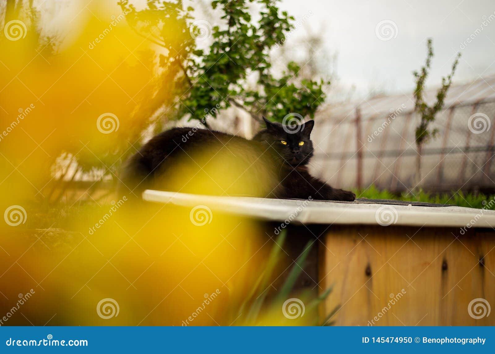 Zamyka w górę portreta tomcat Chantilly Tiffany odpoczynkowy i relaksuje na ścianie - słoneczny dzień Ciemny czarny kot z dużymi