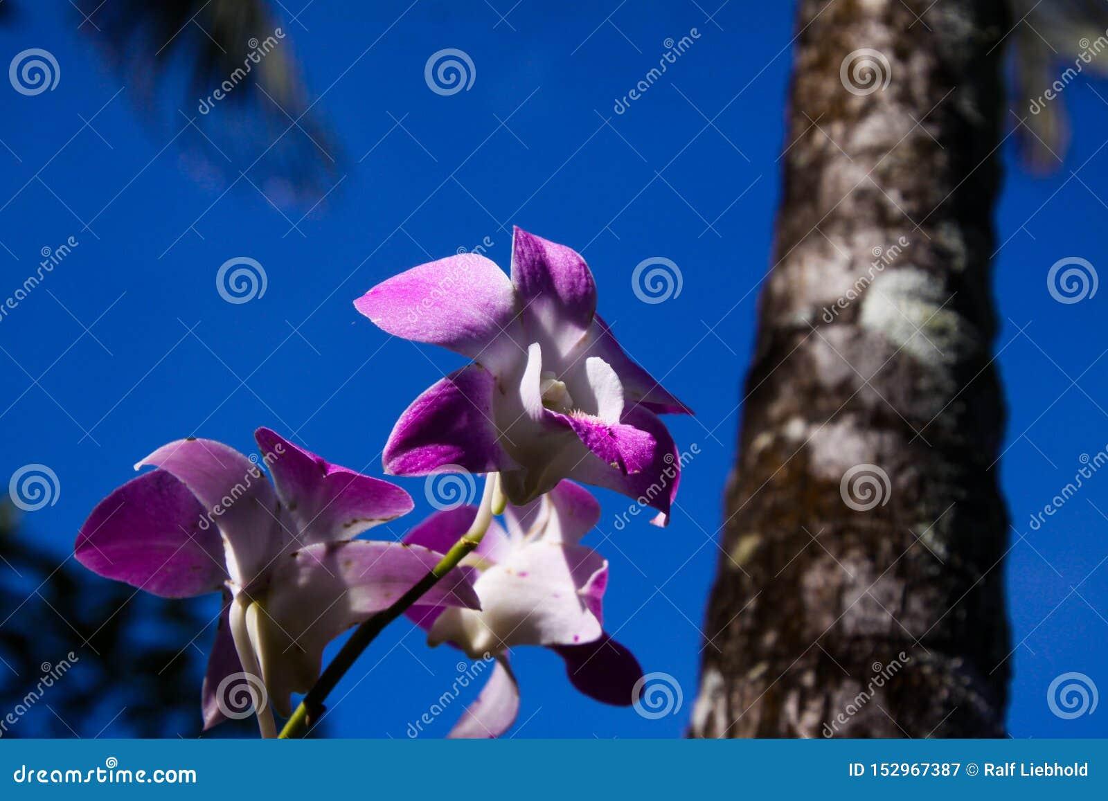 Zamyka w górę różowej i białej dendrobium orchidei z zamazanym bagażnikiem drzewko palmowe przeciw niebieskiemu niebu, Chiang Mai