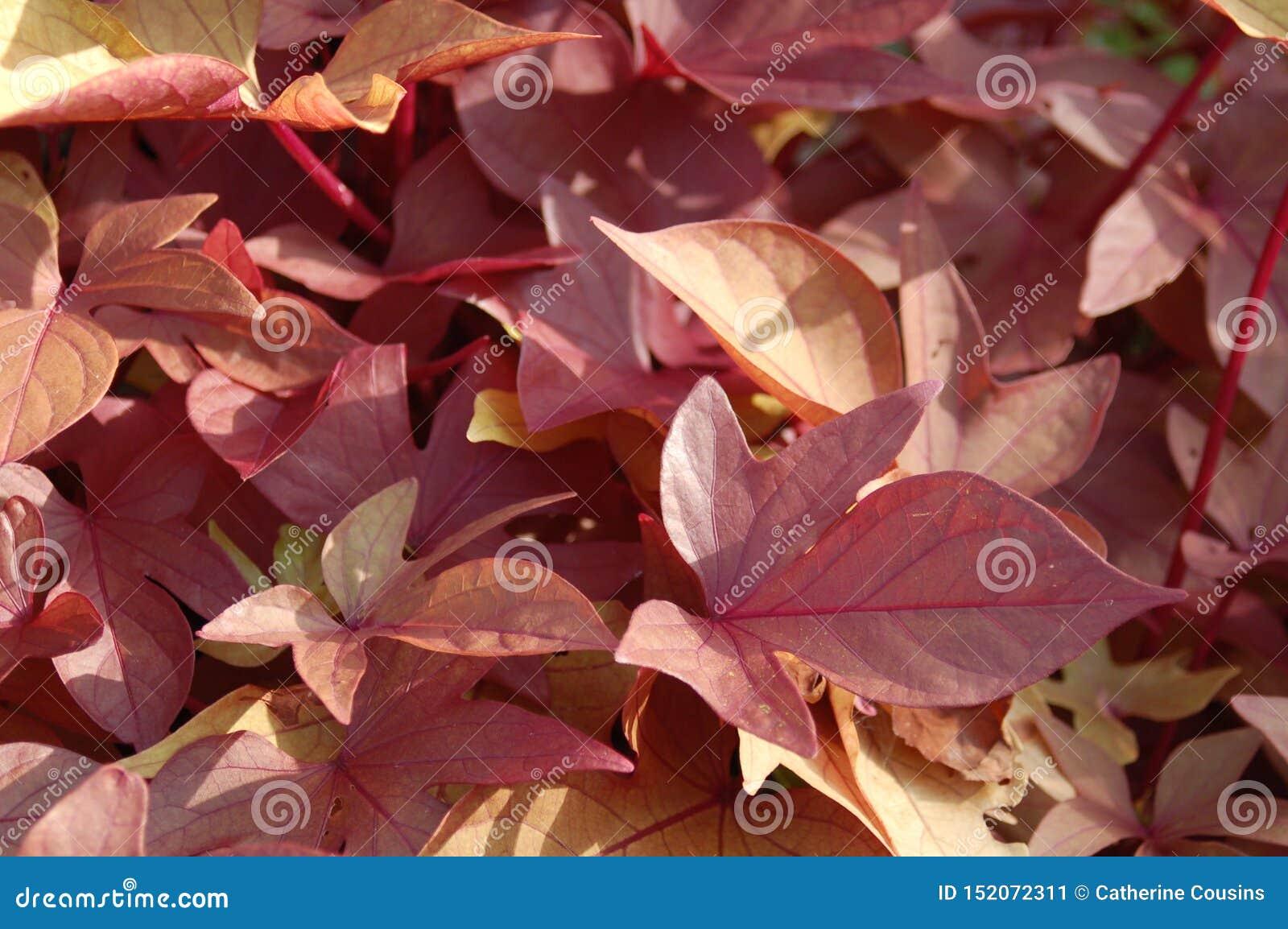 Zamyka w górę rewolucjonistek menchii Żółtych liści