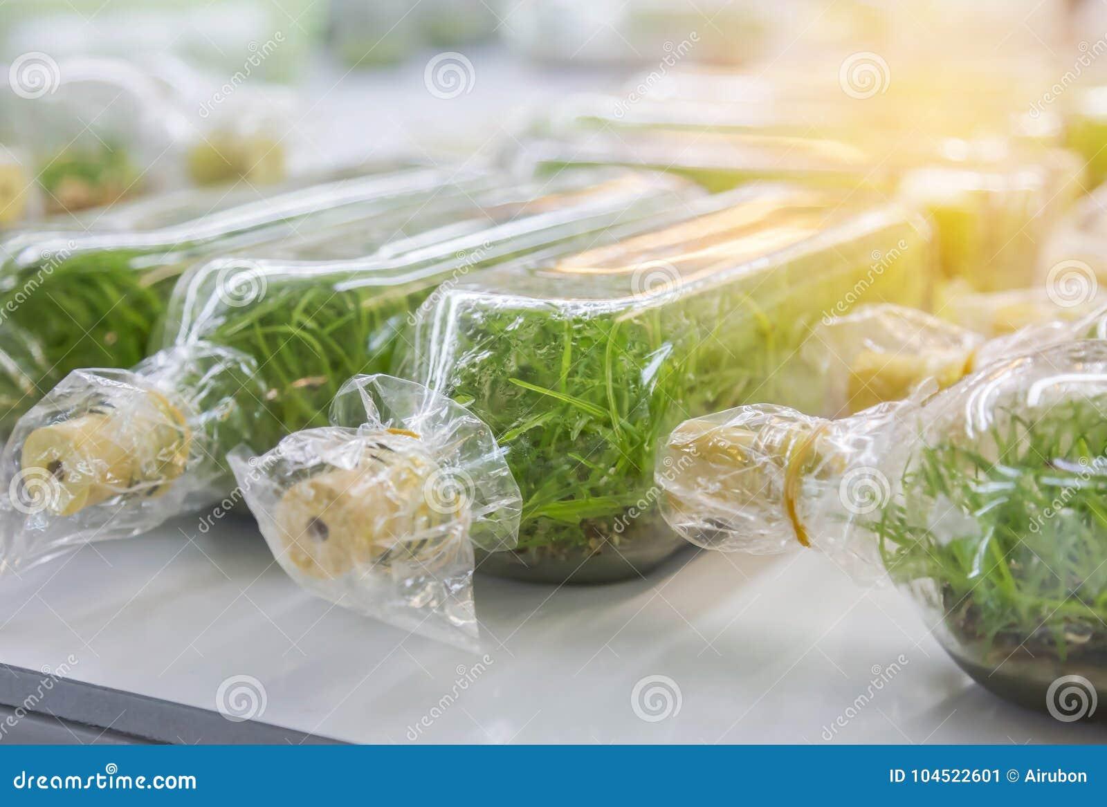 Zamyka w górę rzędu szklanej butelki rośliny tkanki kultura w laboratorium