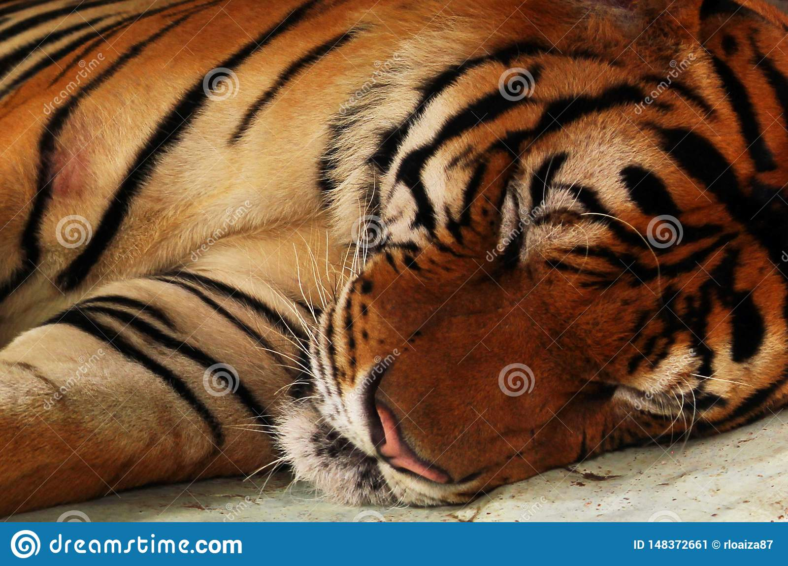 Zamyka w g?r? tygrysi ?garski puszka spa?