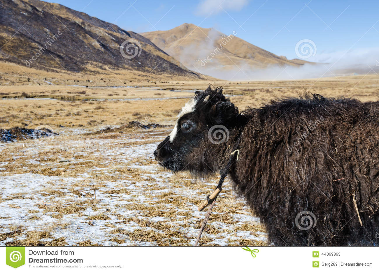 Zamyka w górę widoku młody yak na górskim Tybetańskim paśniku