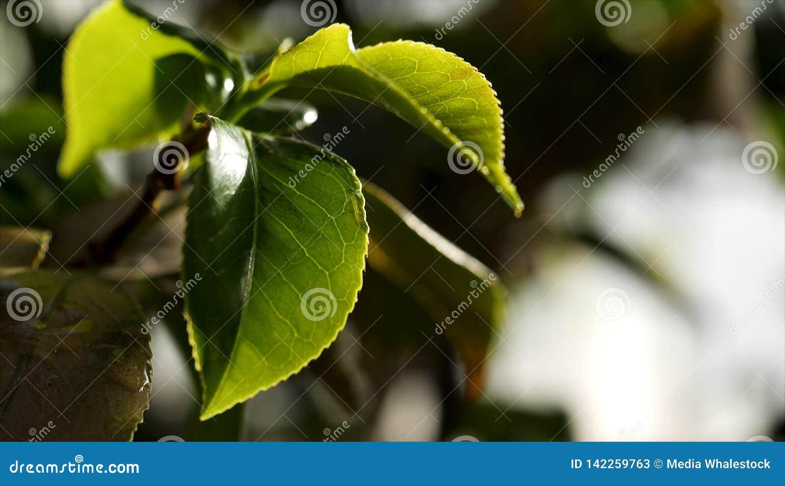 Zamyka w górę zielonych rośliien nawadnia w szklarni dla Woda opuszcza spadać na zielonych liściach w jarzynowym ogródzie