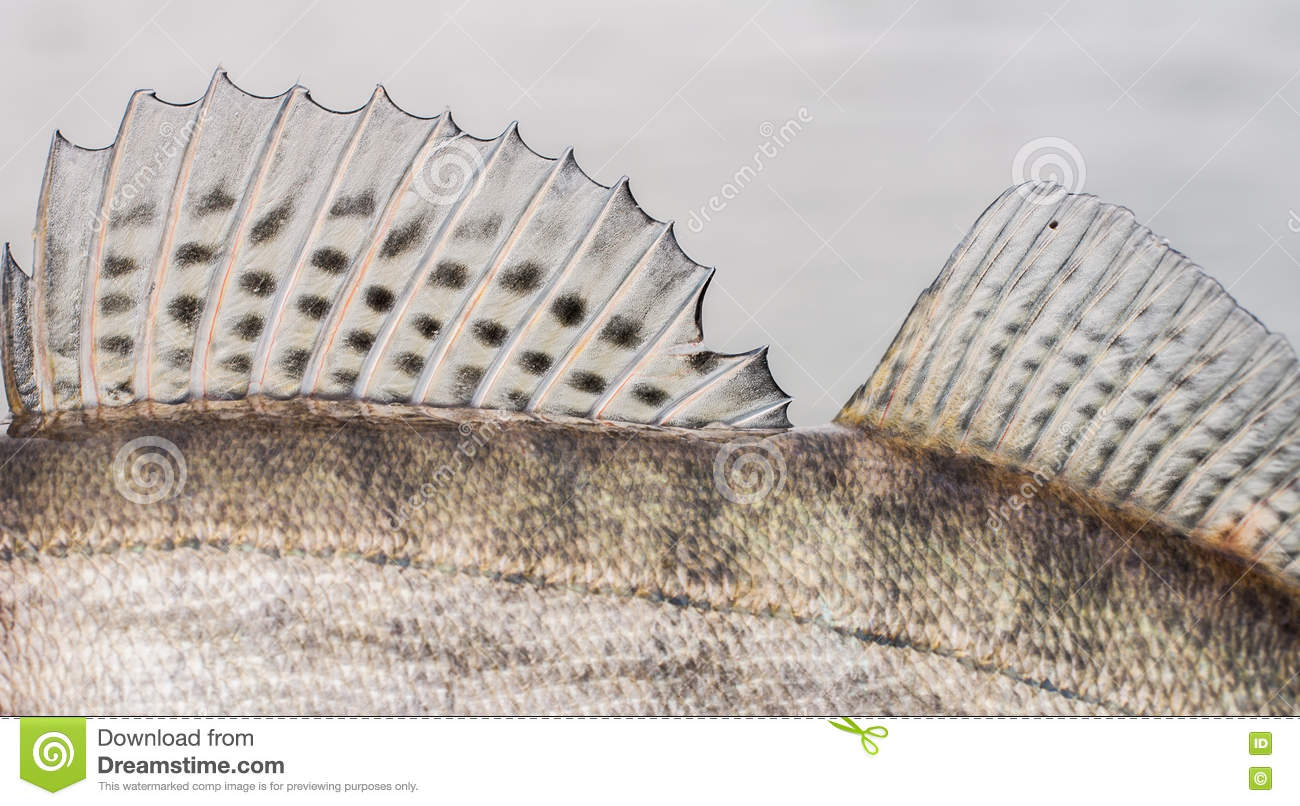 Walleye zander fish stock image 9498973 for Fish with scales and fins