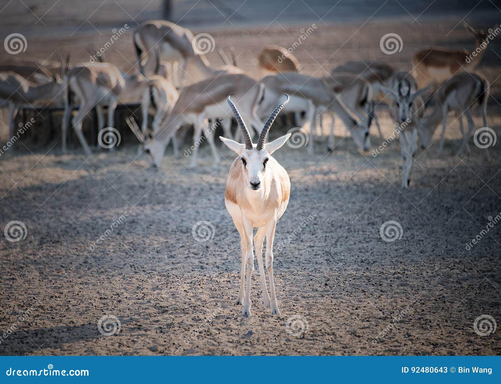 Zandgazelle
