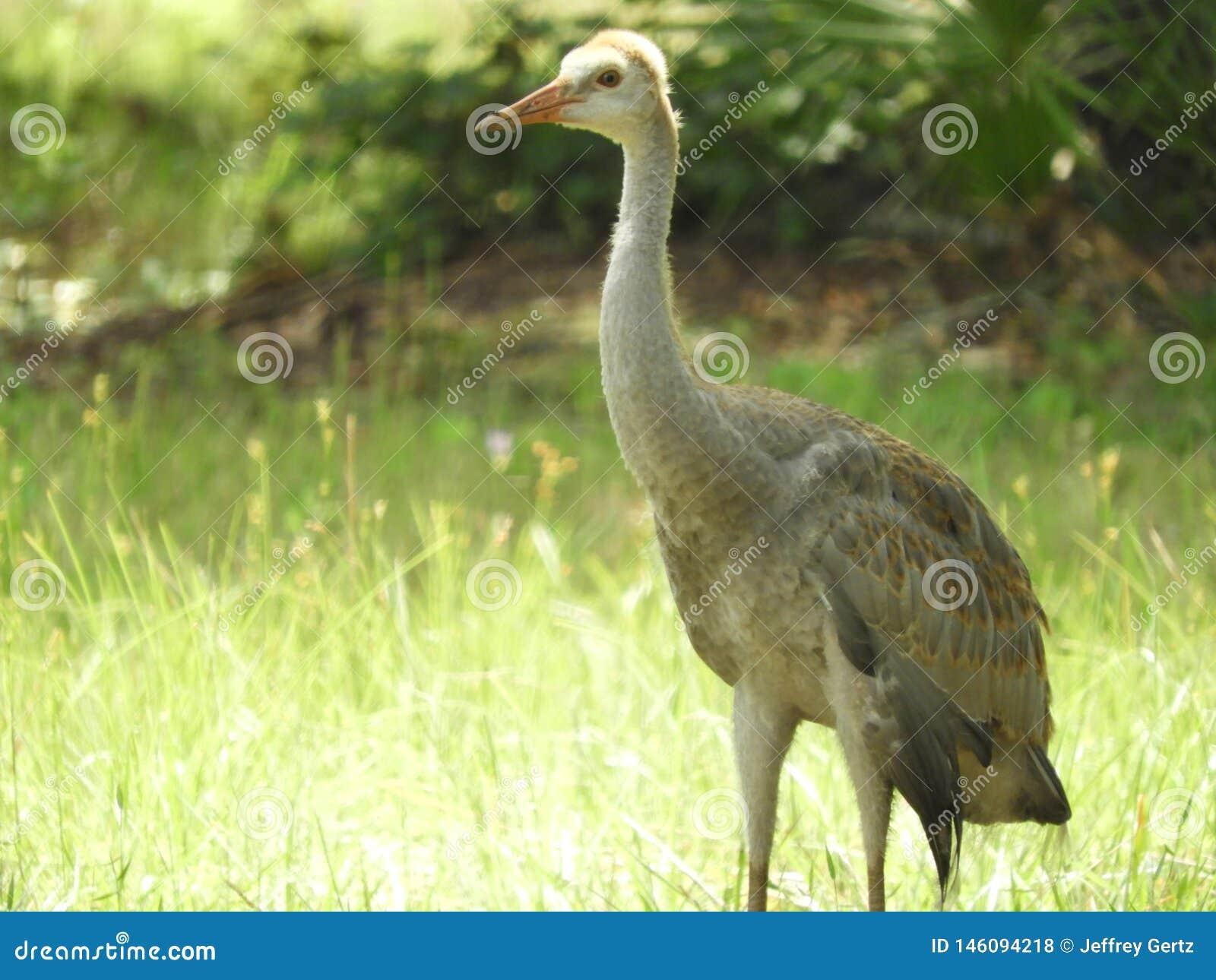 Zandheuvel Crane Baby Bird in het bos