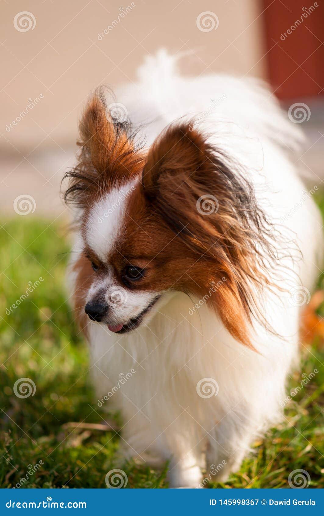 Zaniepokojony papillon psa odprowadzenie na trawie