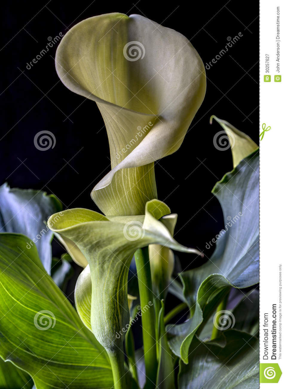 Calla Lily Stock Image Image Of Plant Flower Cream 30257627