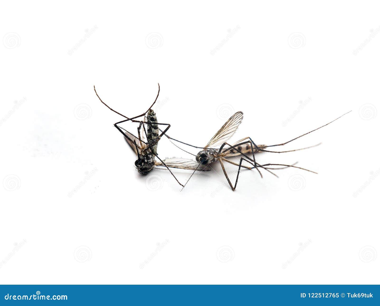 Zanzare Morte Di Zika Di Aedes Aegypti Pericoloso Del Virus Su Fondo