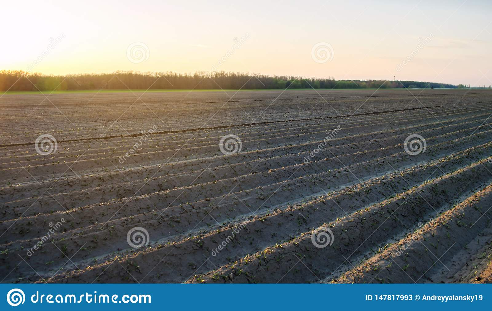 Zaorany pole po kultywacji dla zasadza? rolnicze uprawy Krajobraz z gruntem rolnym ?