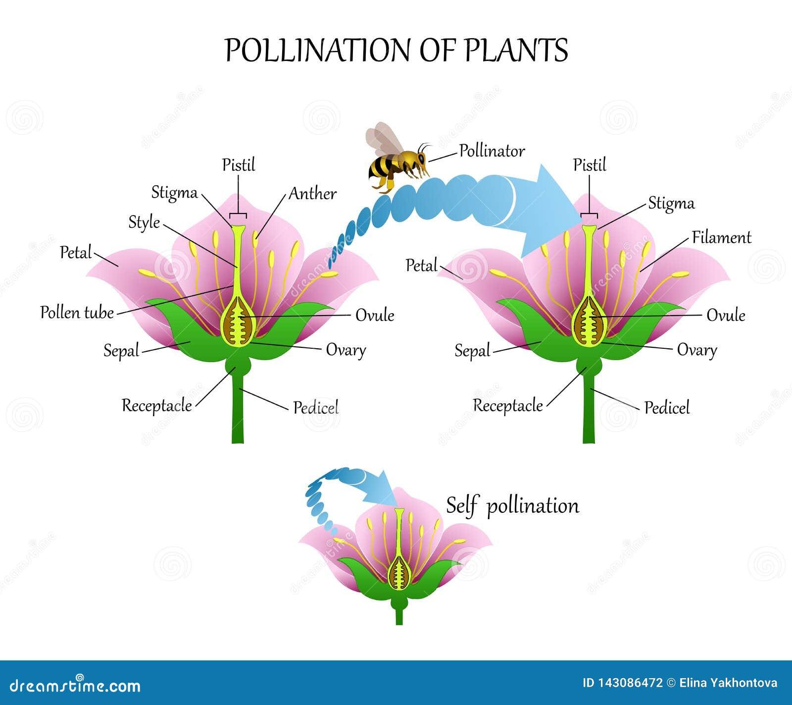 Zapylać rośliny z insektami i zapylaniem, kwiat anatomii edukacji diagram, botaniczny biologia sztandar Wektorowy illustrat
