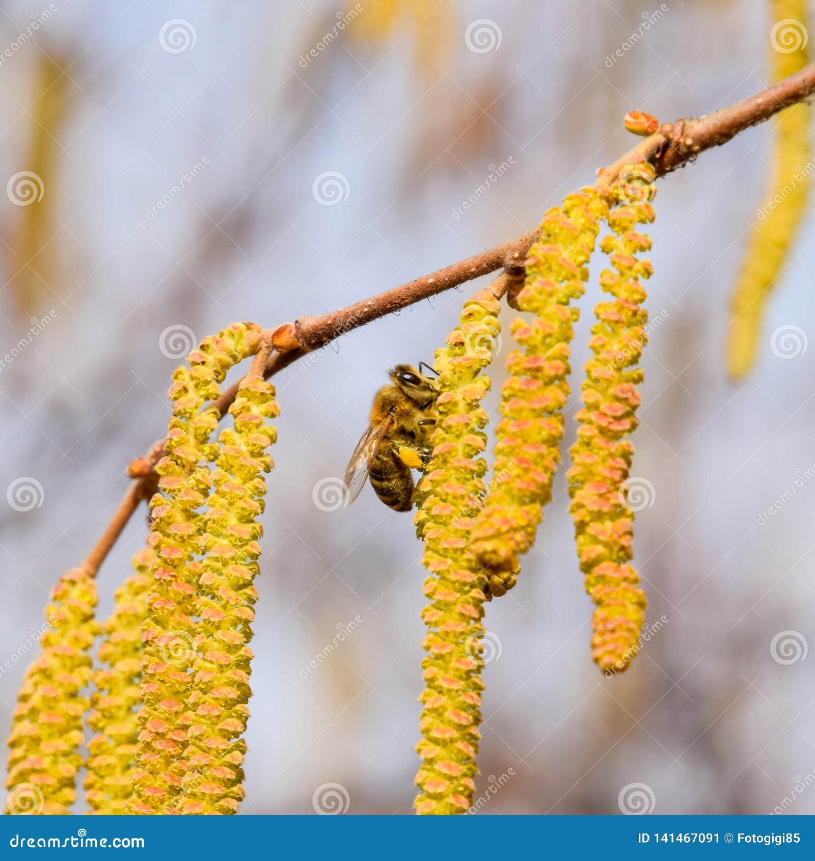 Zapylanie pszczoła kolczyków hazelnut Kwiatonośnej leszczyny hazelnut