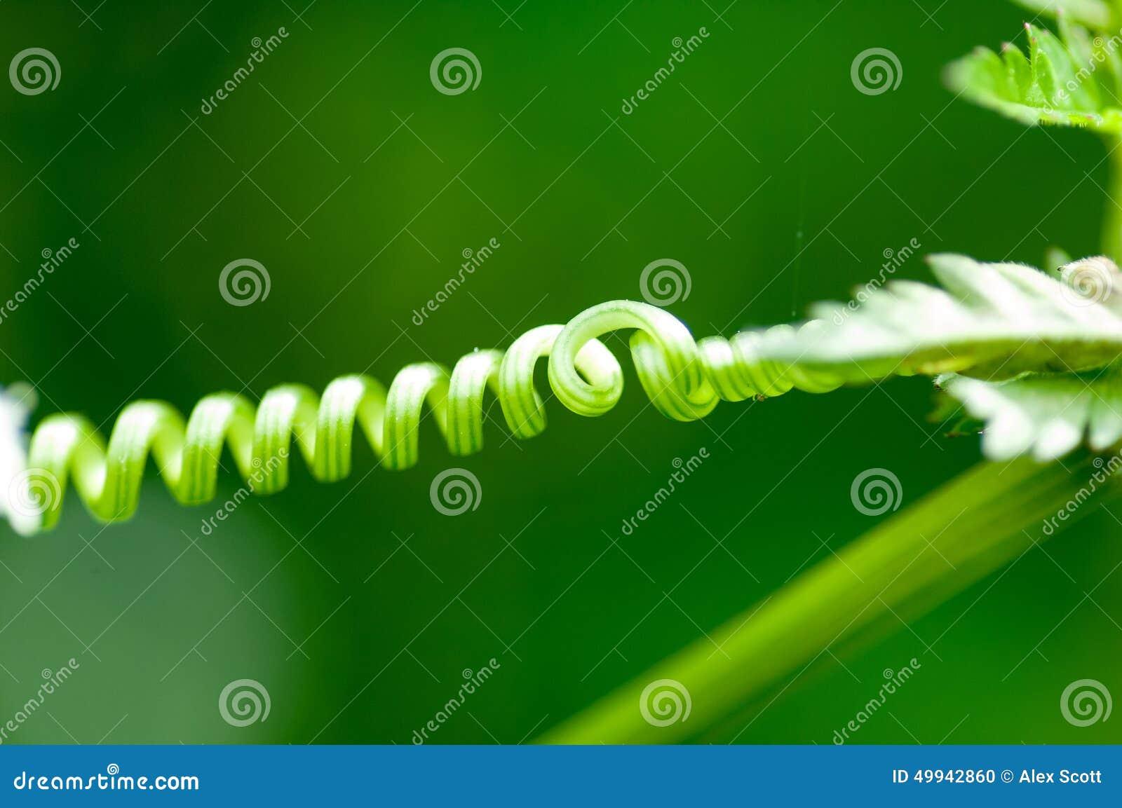 Zarcillo de la arveja del detalle de la planta