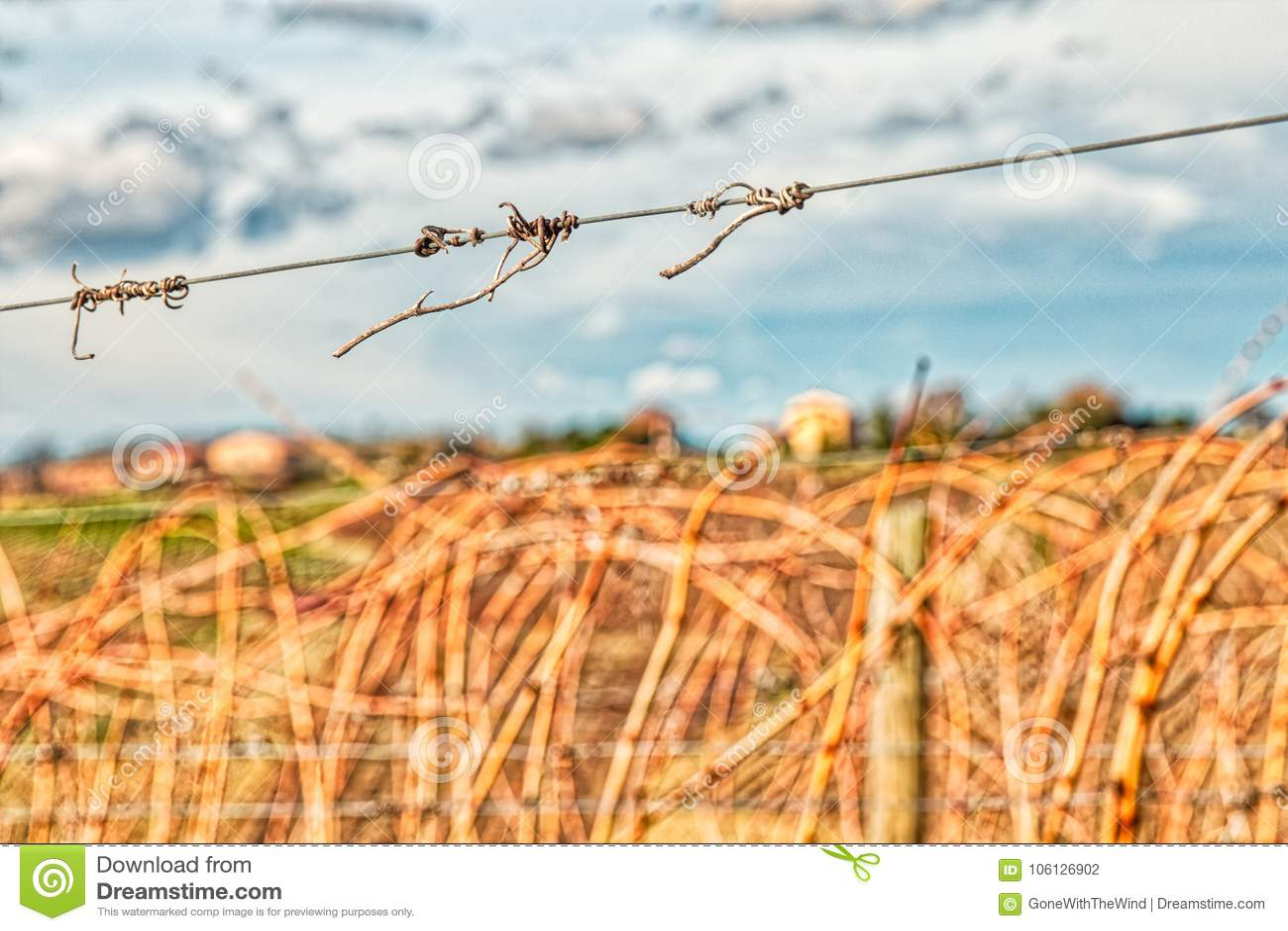 Zarcillos secados en el alambre