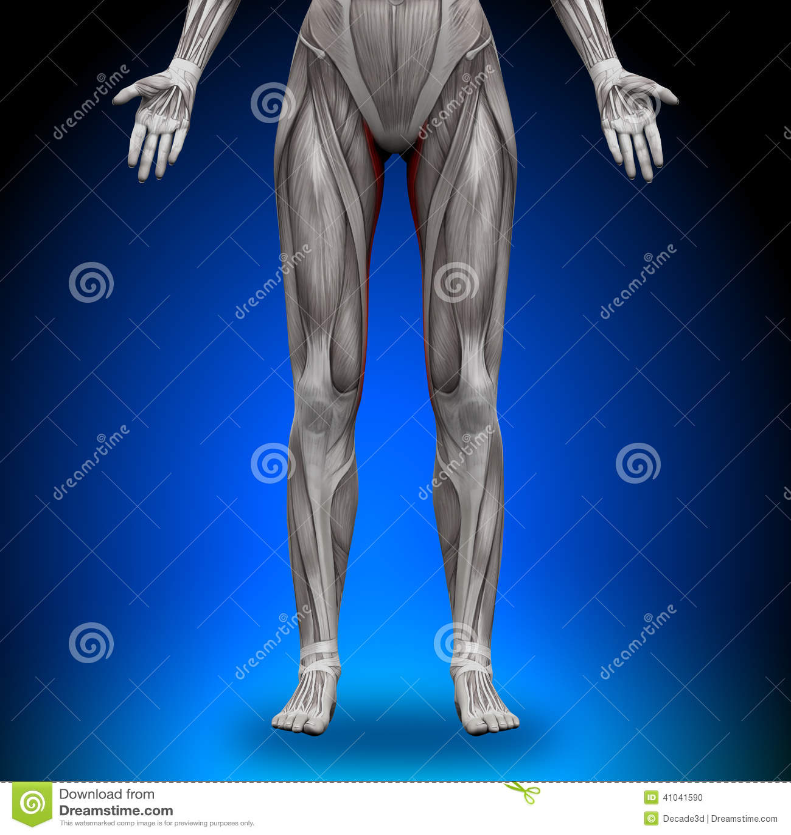 Zart - Weibliche Anatomie-Muskeln Stock Abbildung