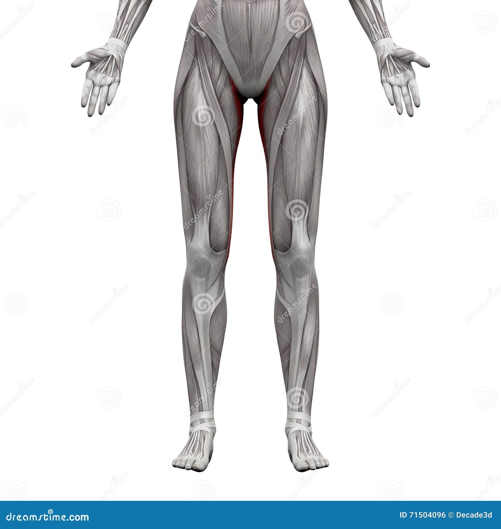Wunderbar Muskeln Des Kerns Anatomie Galerie - Anatomie Ideen ...