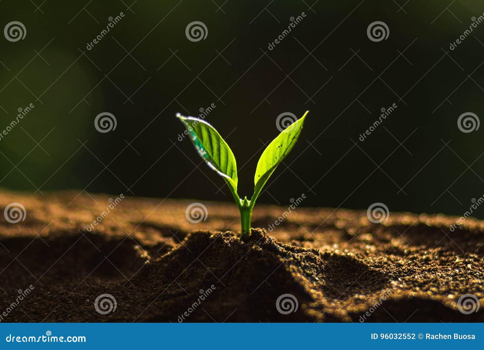 Zasadza drzewa w naturze, kawowy drzewo, świeży, drzewny krok,