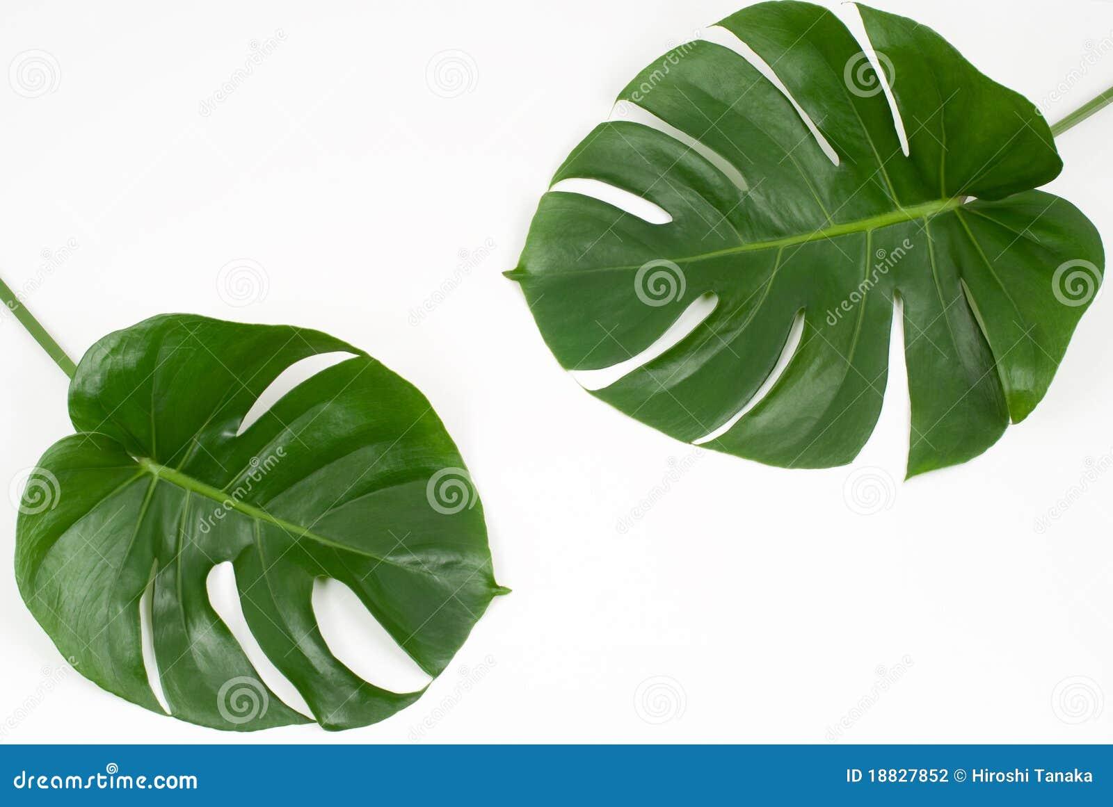 Zasadza tropikalnego