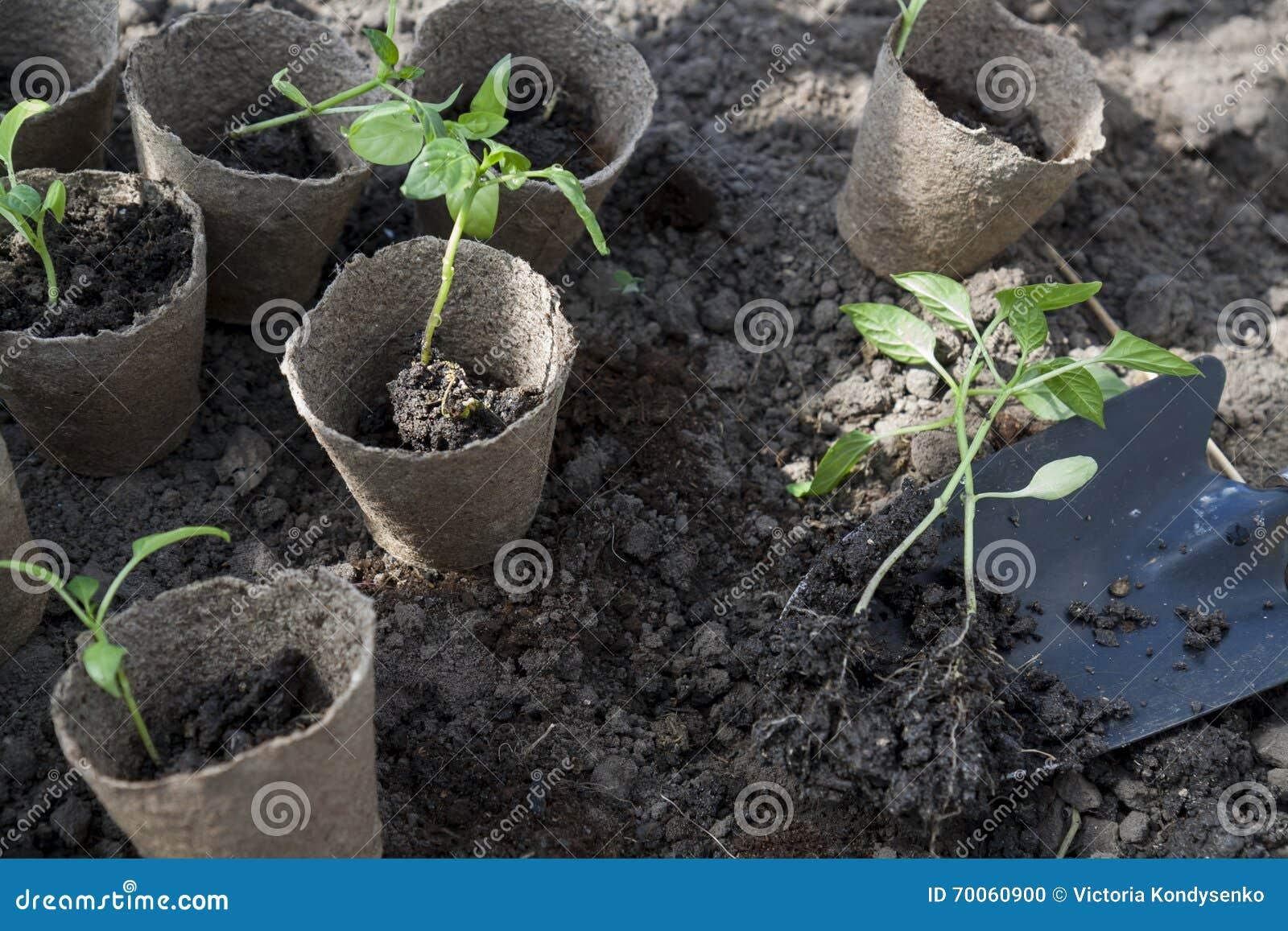 Zasadzający potomstwo pieprze sadzonkowych w torfowiskowych garnkach na glebowym tle