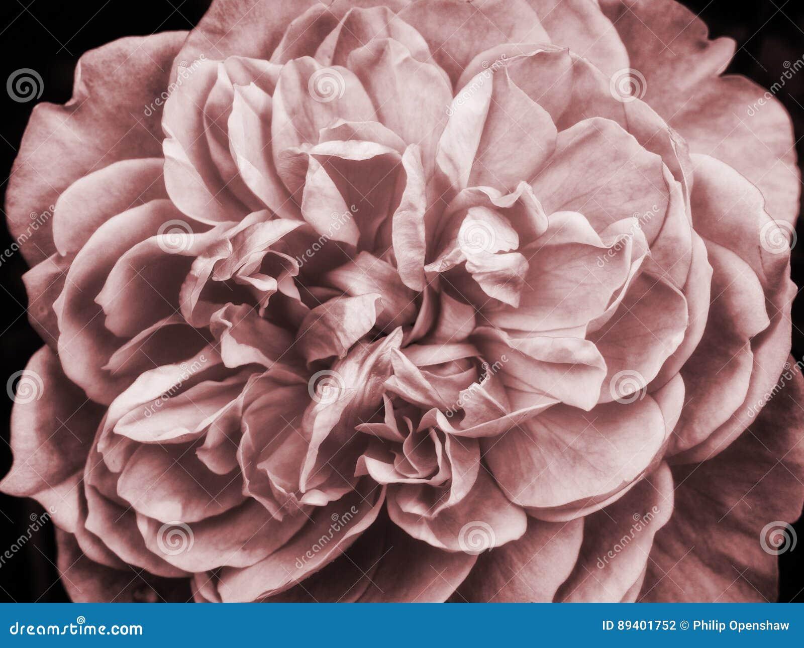 Zatarta różowa ampuła wzrastał