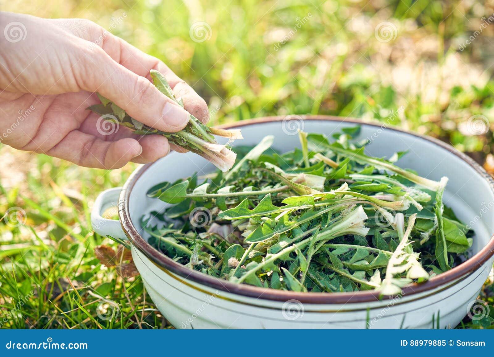 Zbierać dandelion zielenie