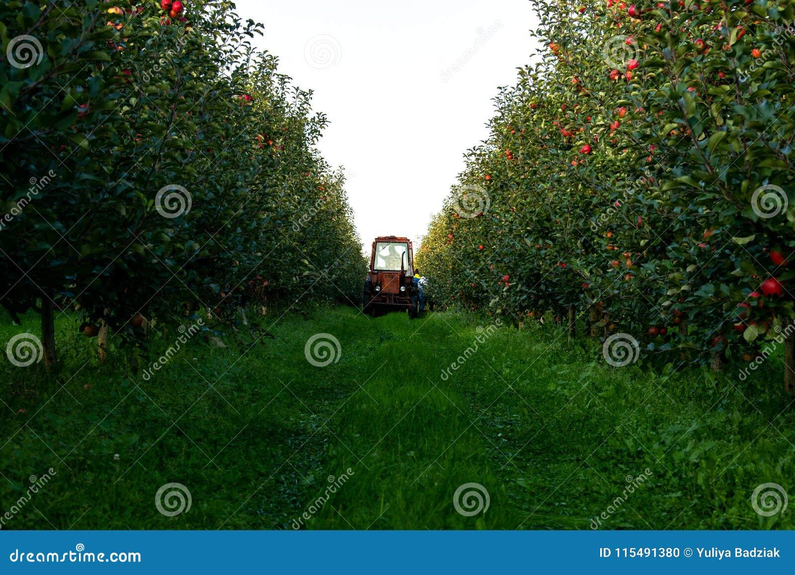 Zbierać jabłka w jabłczanym sadzie