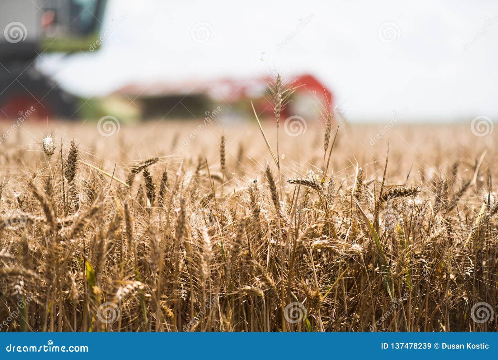 Zbierać pszeniczny pole