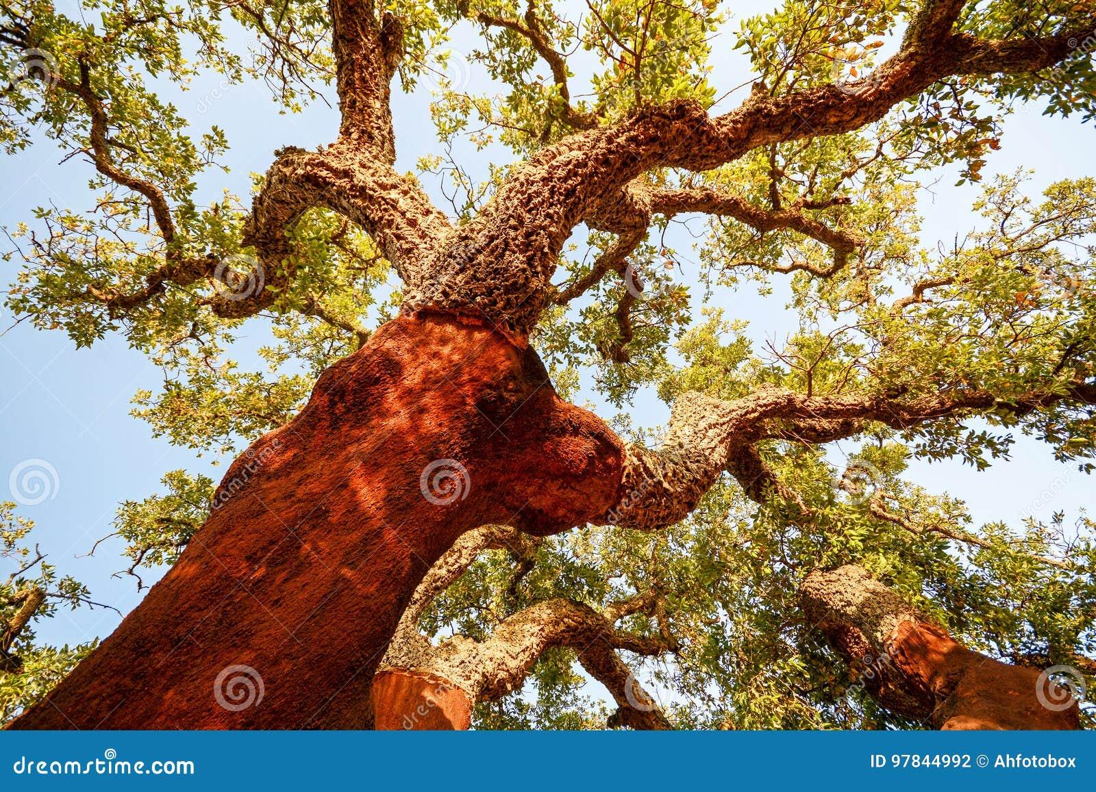Zbierający bagażnik stary korkowy dębowego drzewa Quercus suber w wieczór słońcu, Alentejo Portugalia