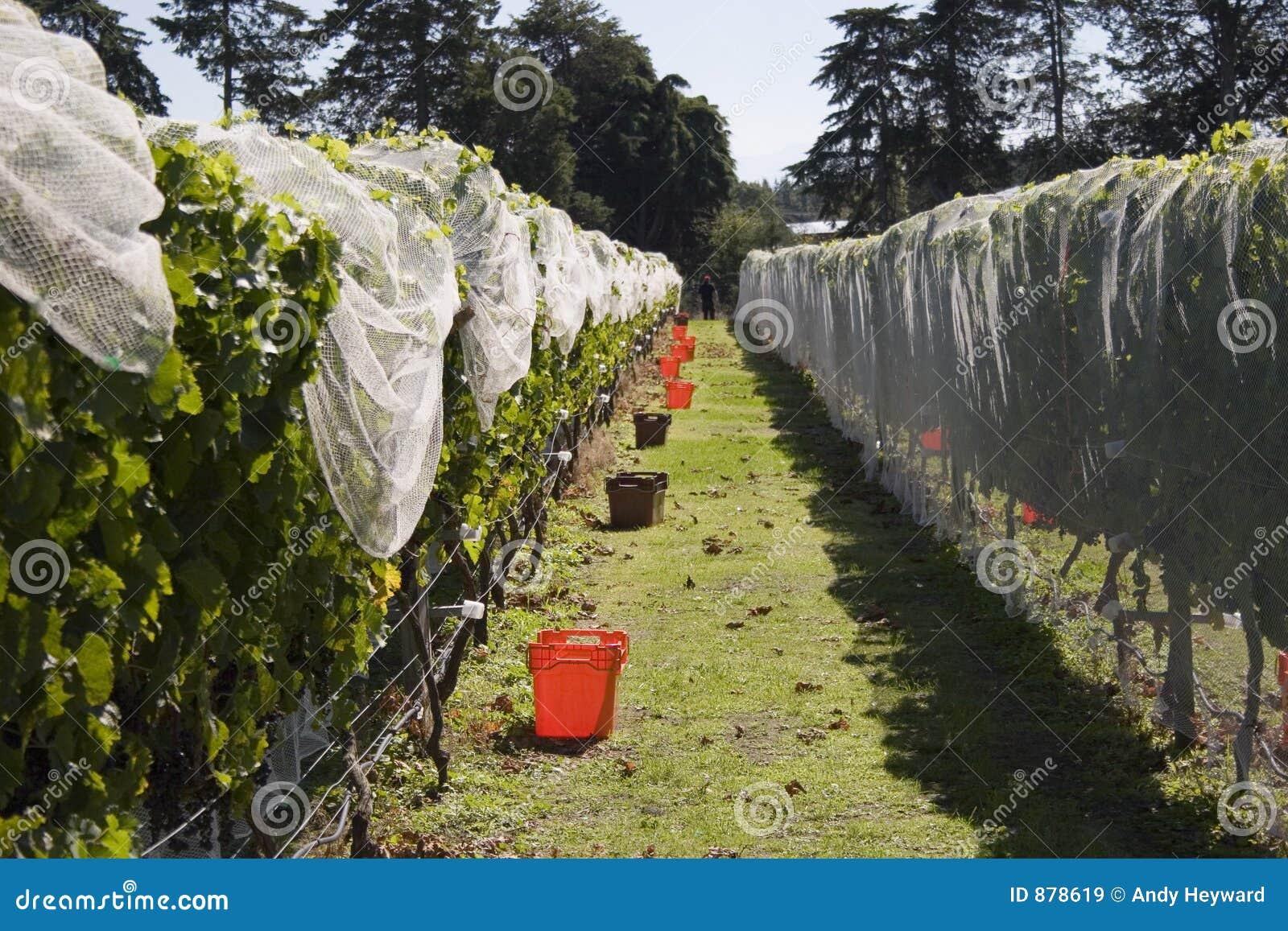 Zbioru winogron