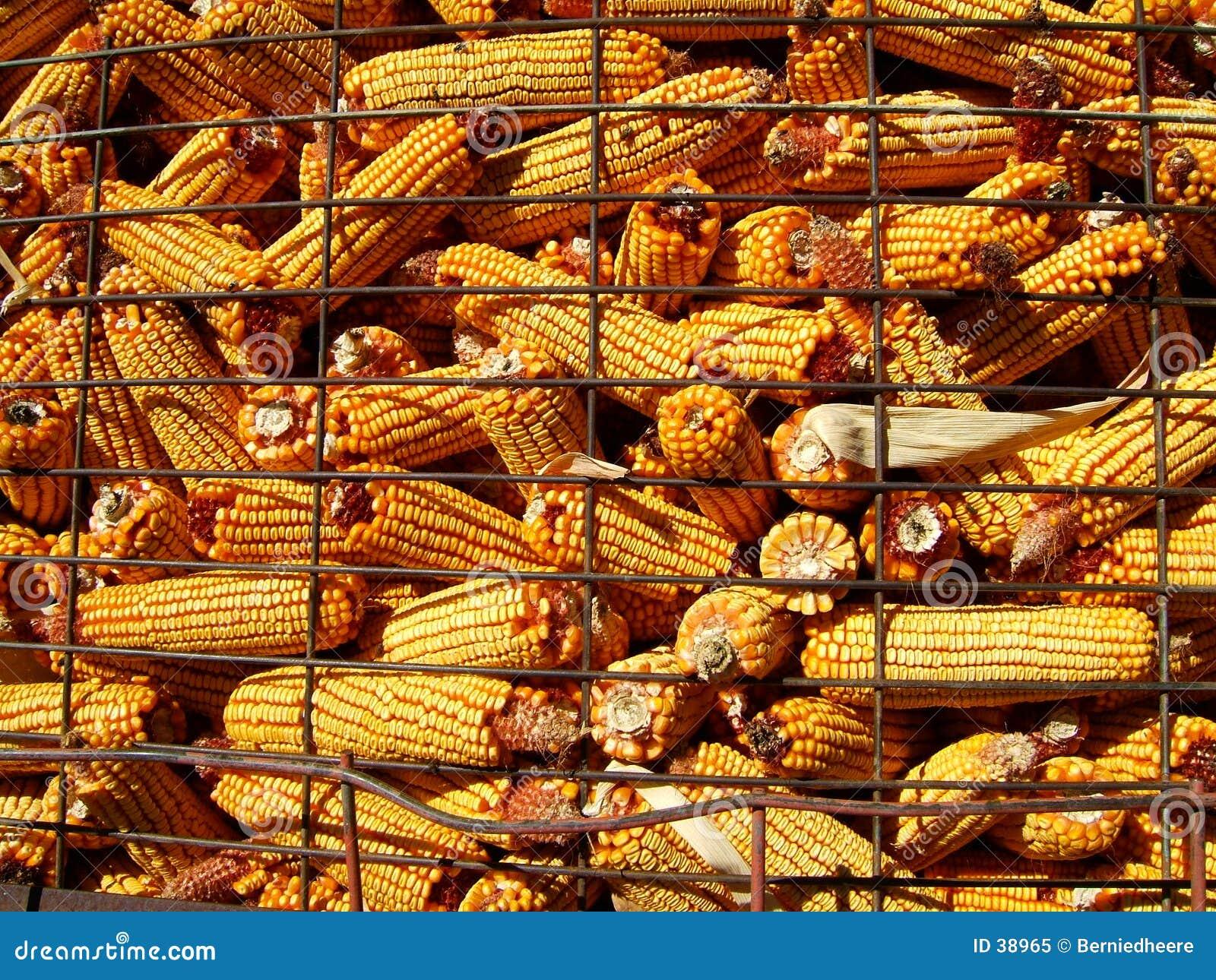 Zbiory kukurydzy