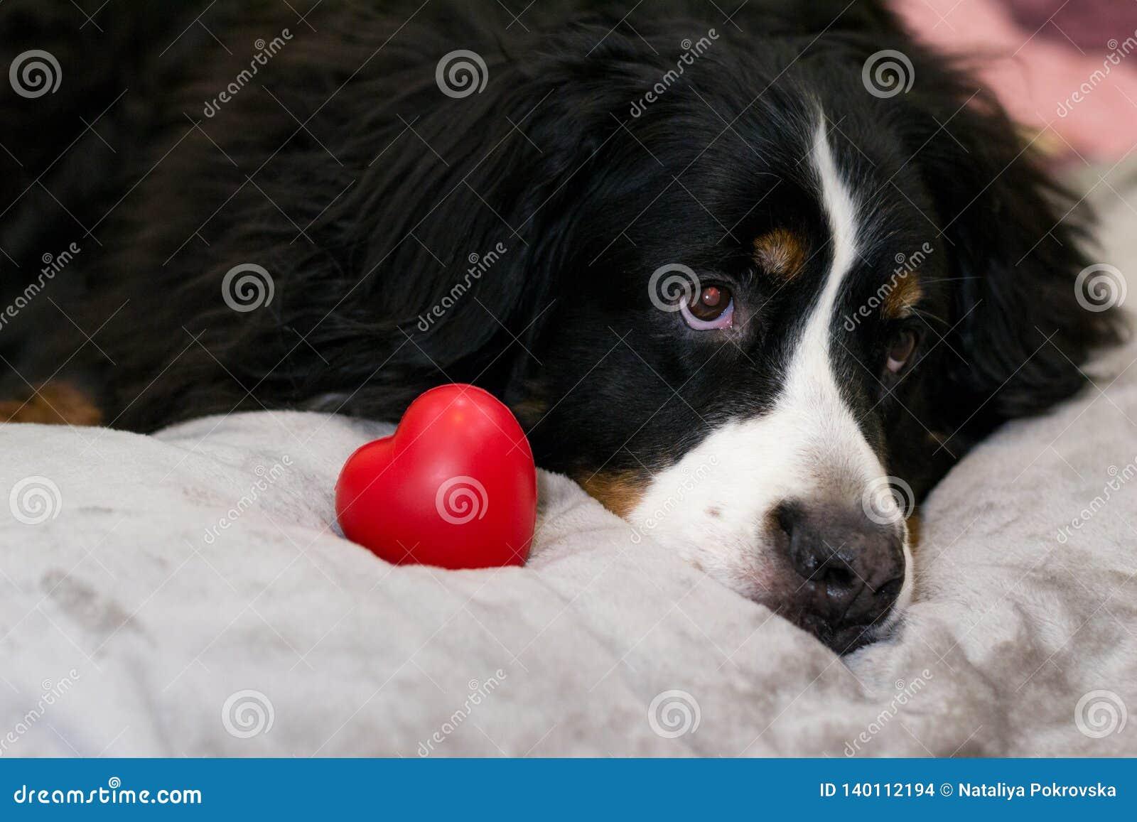 Zbliżenia Bernese góry psa lying on the beach na beżowym łóżkowym pobliskim czerwonym sercu jako symbol miłość Walentynka dzień i