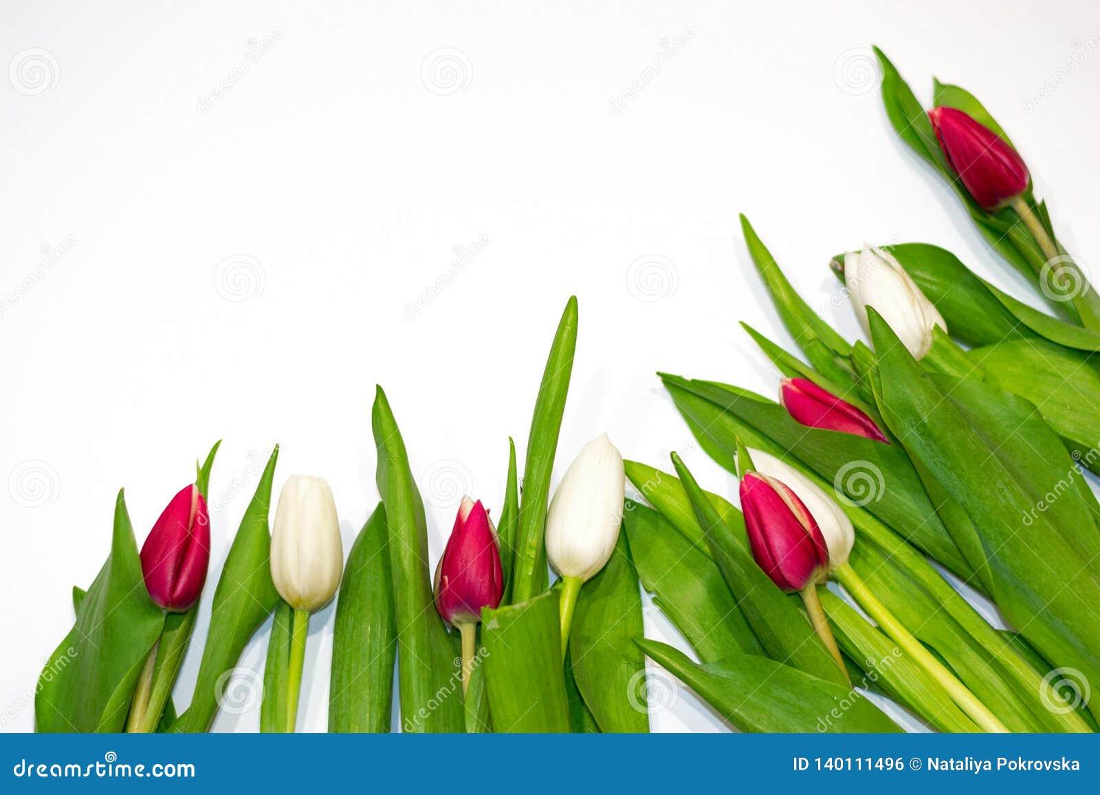 Zbliżenie bielu i czerwieni tulipanowi guziki na białym tle Pojęcie prezent, świeżość, walentynka dzień, Międzynarodowy kobieta d