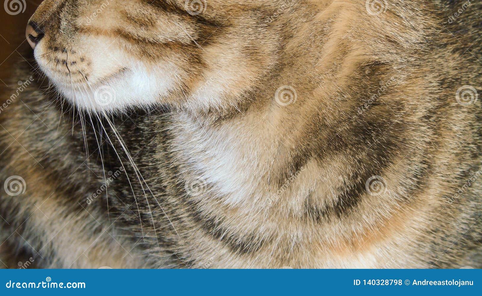 Zbliżenie tricolor pasiasty kot, barwiony koci, zwierzęcia domowego tło