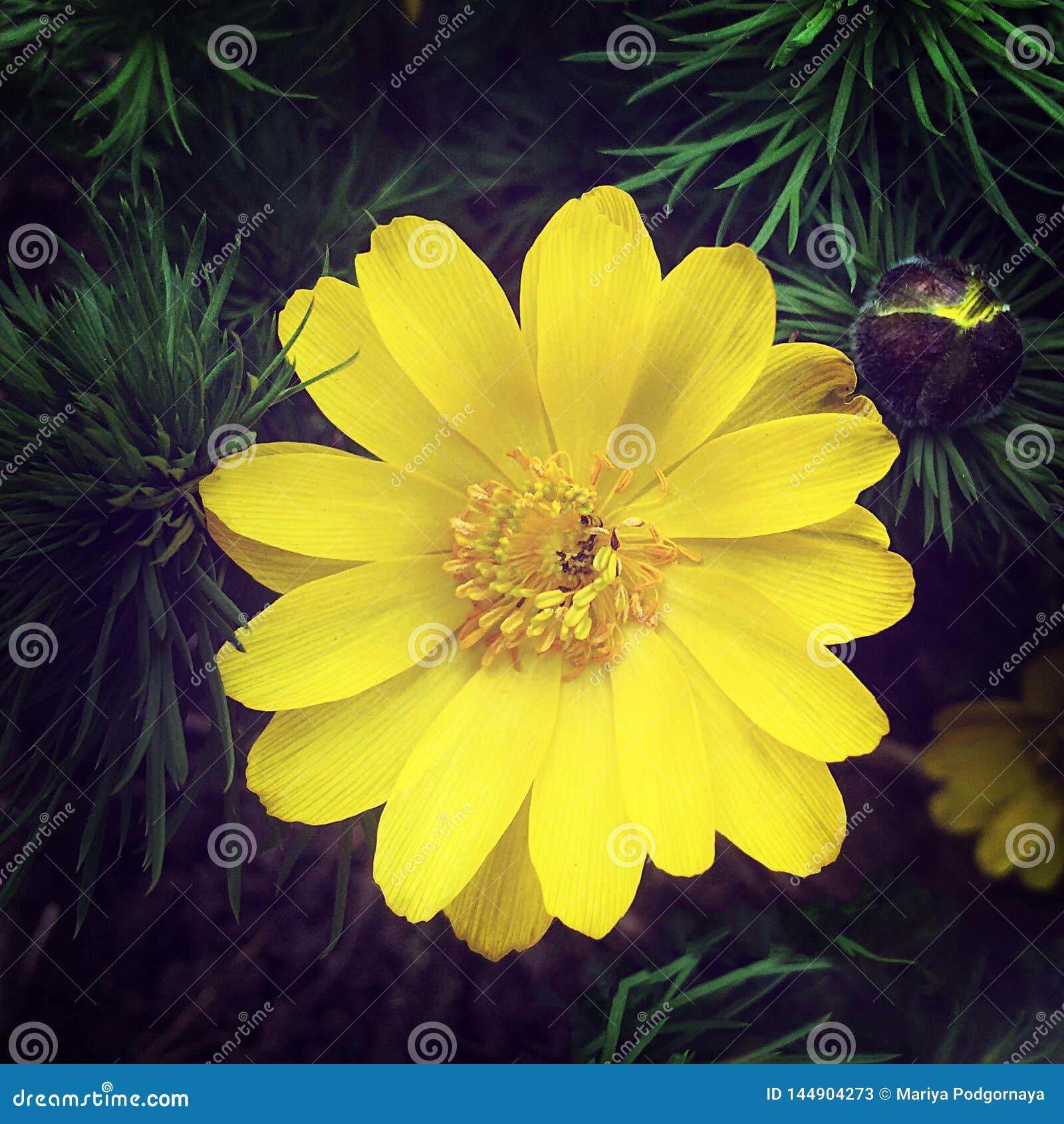 Zbliżenia Adonis otwarty piękny kwiat, skacze leczniczy pierwiosnek adonis vernalis