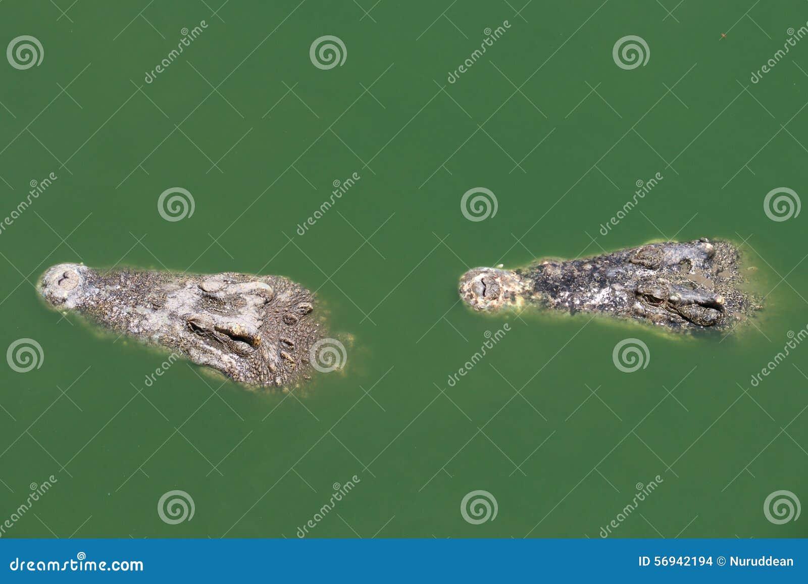 Zbliżenia dwa rozdziały krokodyl