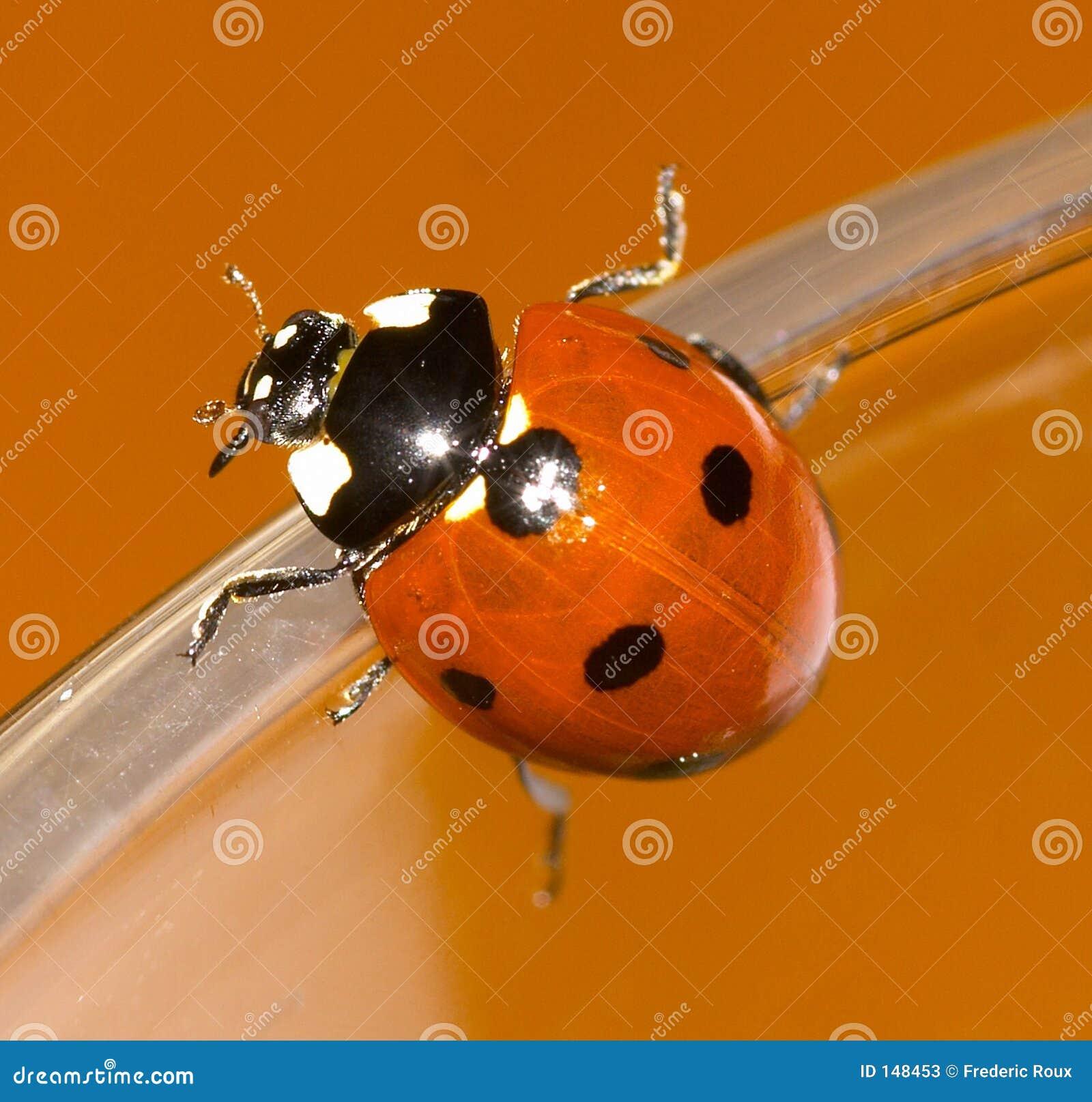 Zbliżenia ladybird