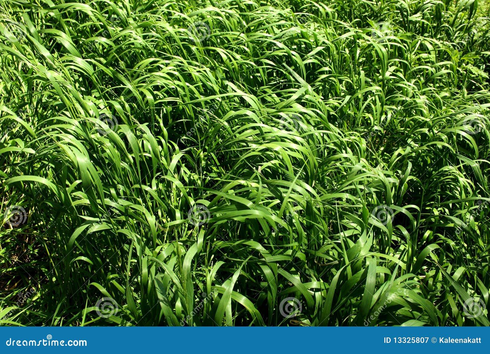 Zbliżenia pola trawa