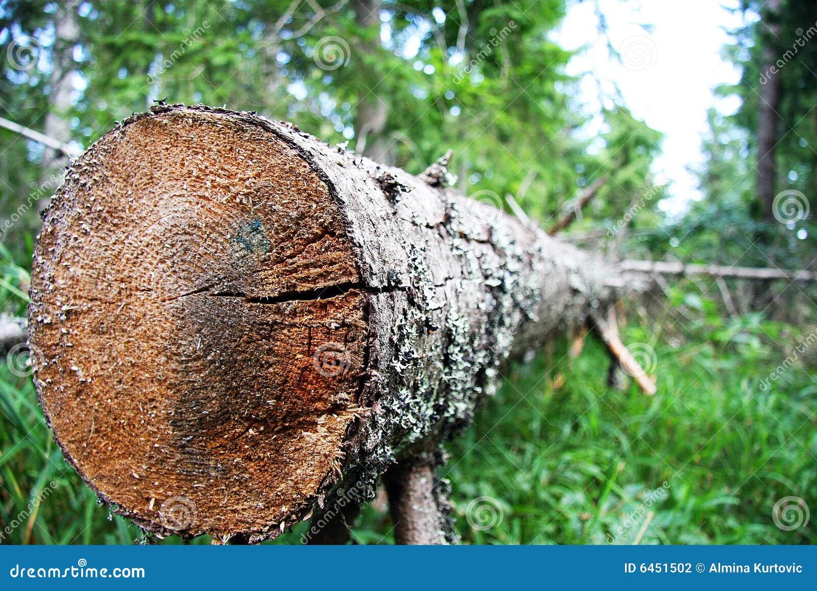 Zbliżenia powalony drzewo