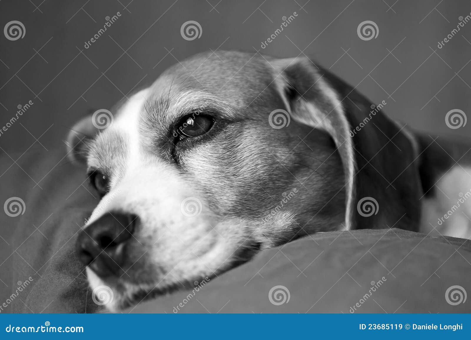 Zbliżenia psa twarz