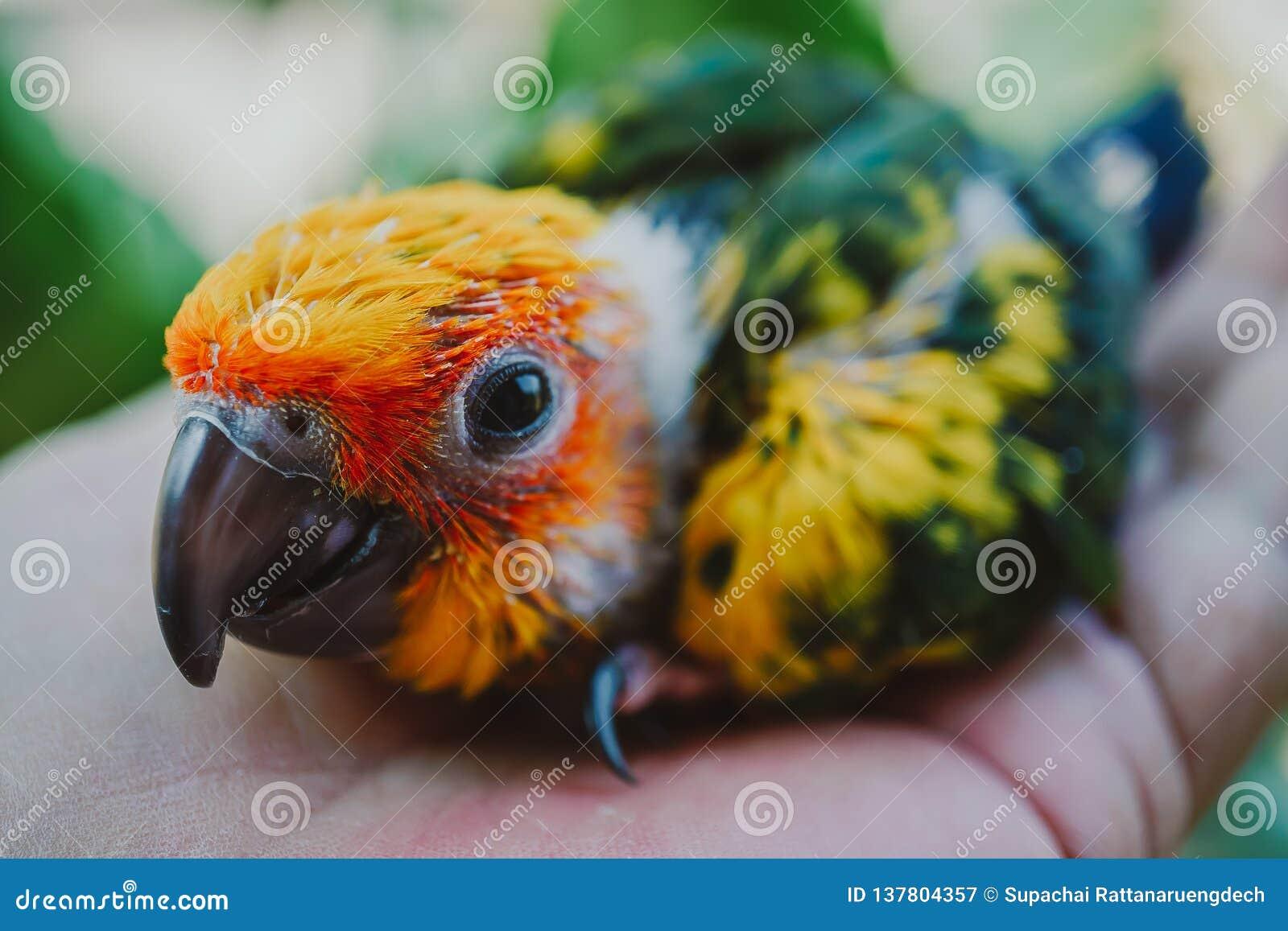 Zbliżenia słońca Conure ptak