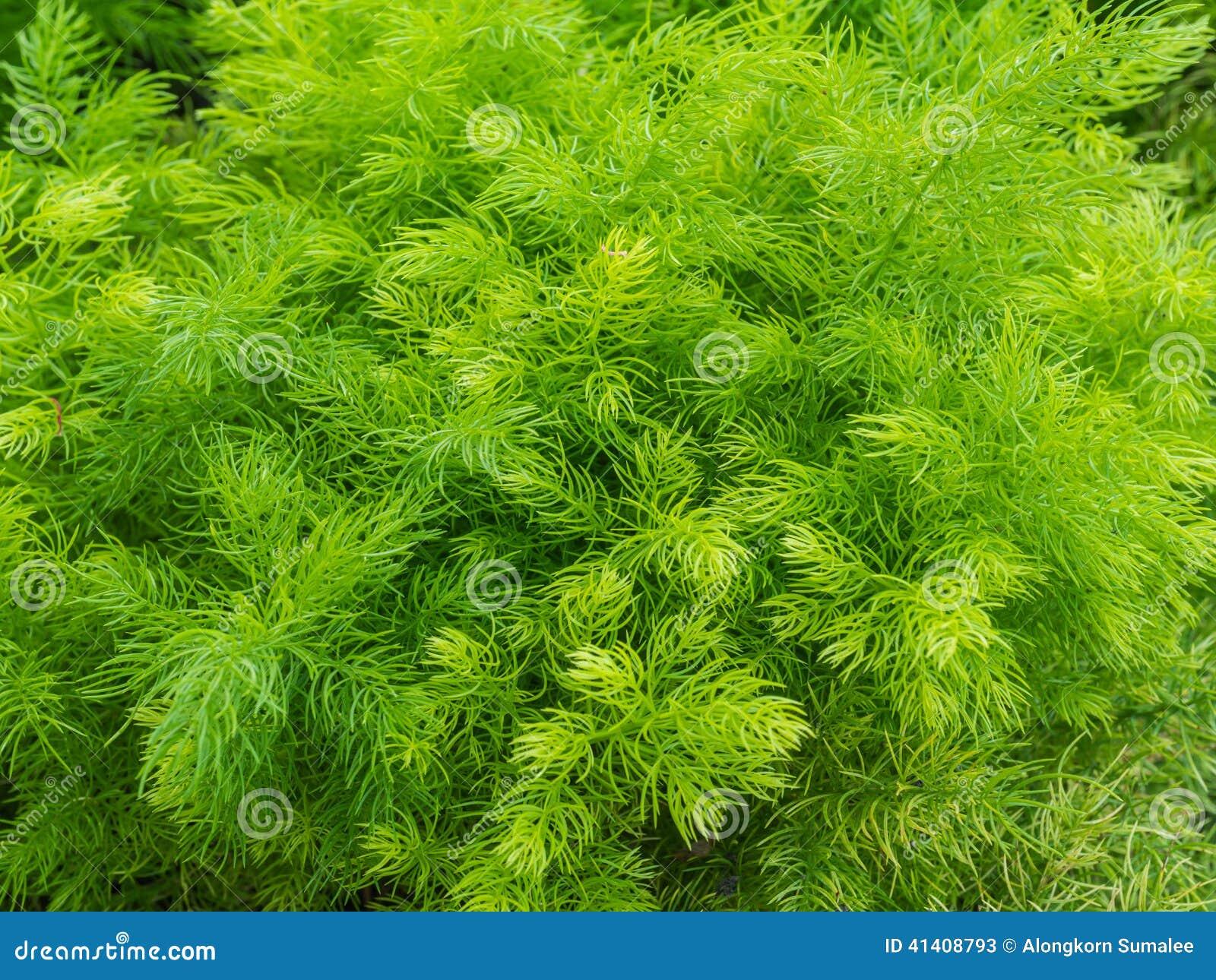 Zbliżenie świeży zielony krzak Shatavari (asparagus r
