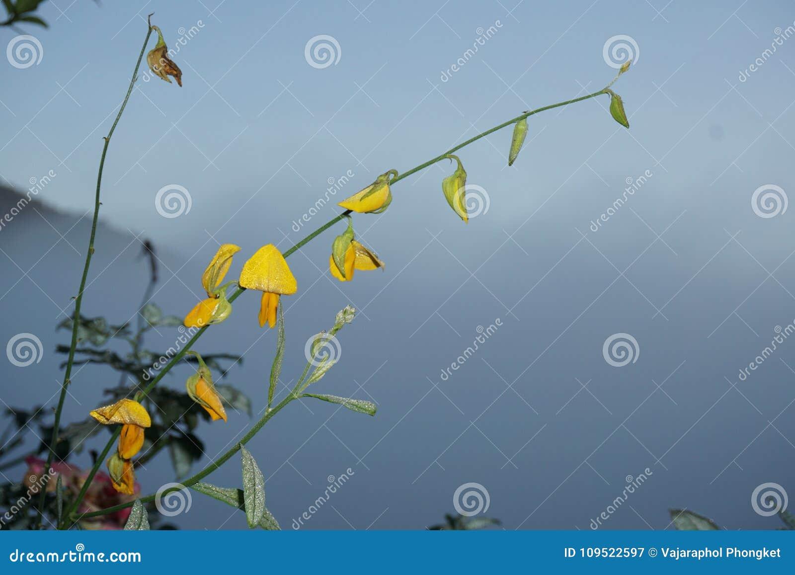 Zbliżenie żółty kwiat sunhemp lub Crotalaria juncea w naukowym imieniu