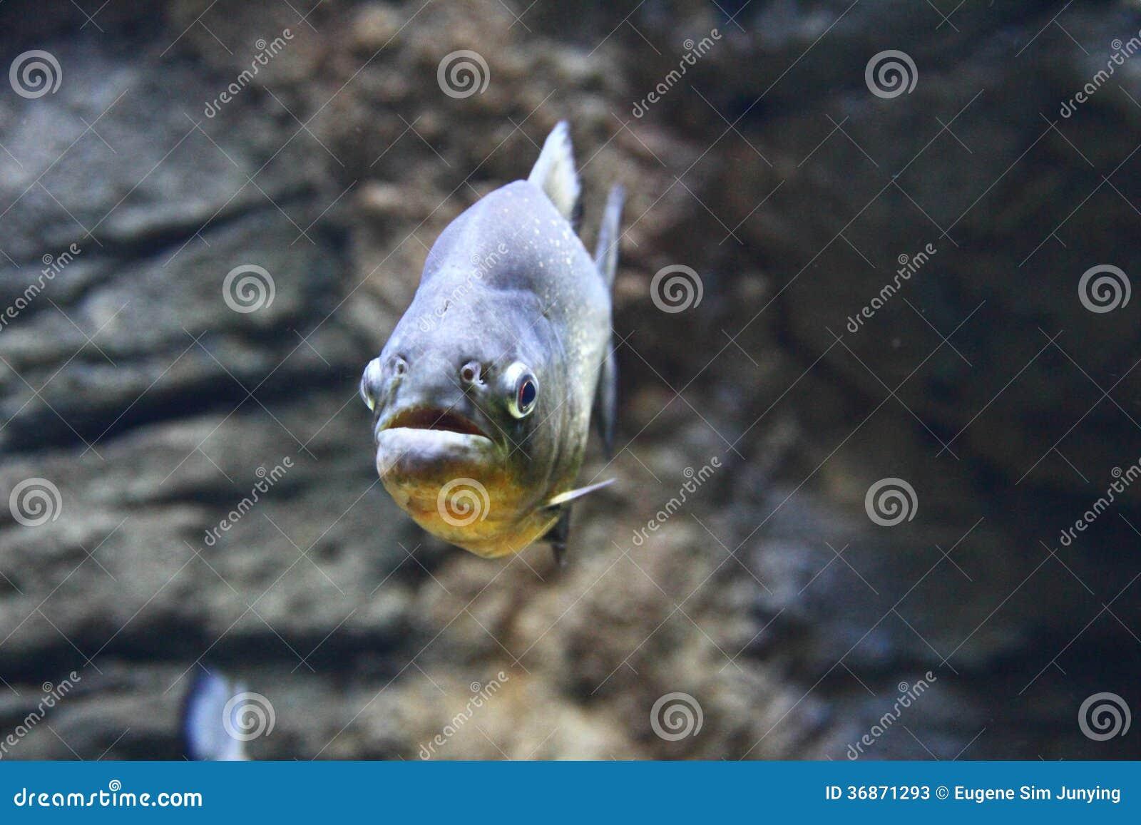 Zbliżenie Bellied Piranha